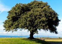 ¿Cuál es el árbol nacional de España?