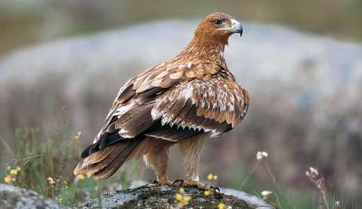 ¿Cuál es el ave nacional de España?
