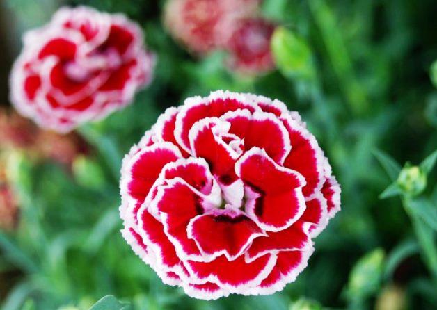 ¿Cuál es la flor nacional de España?